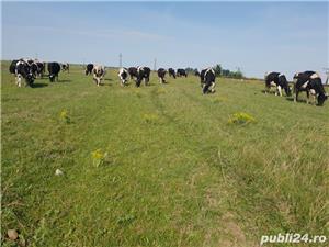 Vând vaci  - imagine 3