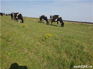 Vând vaci  - imagine 2