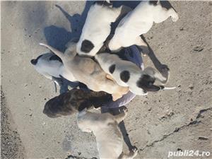 Căței dog argentinian cu volkodav  - imagine 2