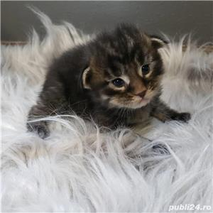 puisori american shorthair - imagine 1