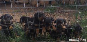 Vând căței Rottweiler  - imagine 4
