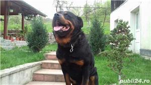 Vând căței Rottweiler  - imagine 1