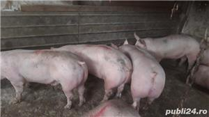 Porci de vanzare - imagine 2