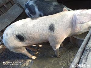 Vand porc rasa pietrain  - imagine 3