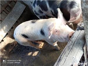 Vand porc rasa pietrain  - imagine 4