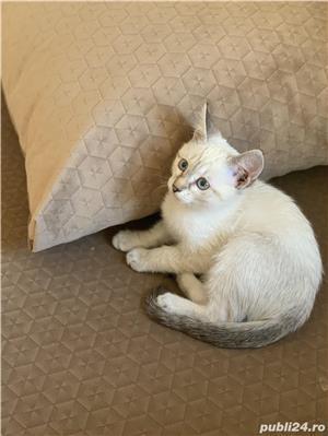 Vând pui de  pisica  siameza aurie - imagine 1