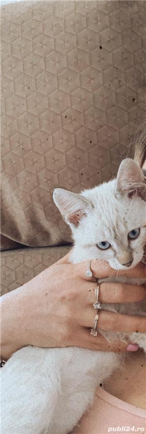 Vând pui de  pisica  siameza aurie - imagine 3