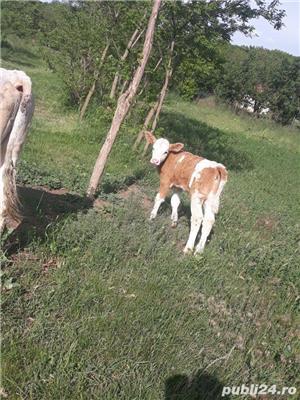 vand juninca cu vitea baltata - imagine 4
