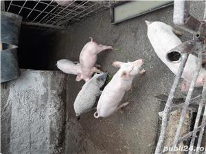 Porci crescuți în gospodărie  - imagine 1
