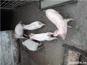 Porci crescuți în gospodărie  - imagine 2
