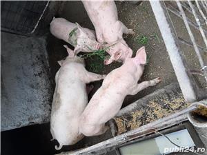 Porci de rasă  - imagine 3