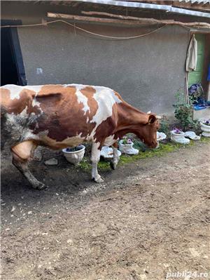 vand 2 vaci - imagine 2