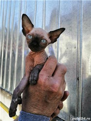 Pui de pisică Sphynx - imagine 2