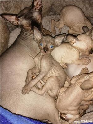 Pui de pisică Sphynx - imagine 4