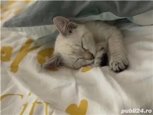 Vând pui de  pisica  siameza aurie - imagine 5