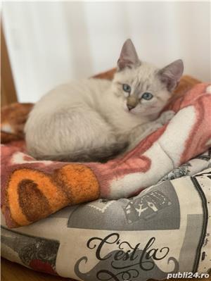 Vând pui de  pisica  siameza aurie - imagine 4