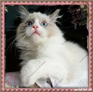 Ragdoll Rasa pura cu pedigree - imagine 1