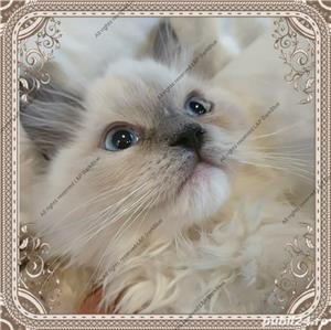 Ragdoll Rasa pura cu pedigree - imagine 5