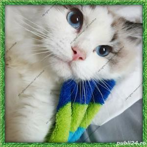 Ragdoll Rasa pura cu pedigree - imagine 4