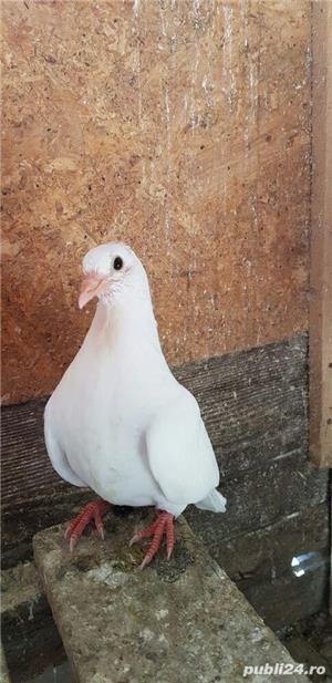 Porumbei jucători - imagine 3