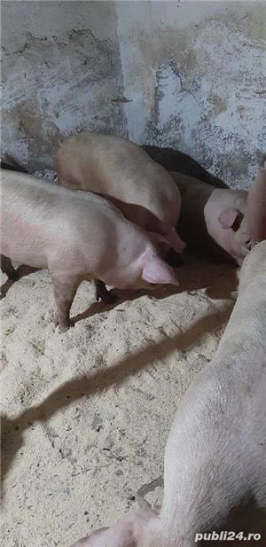 porci frumosi de carne  - imagine 4