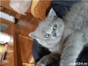 Pisicuta British shorthair blue  300 euro - imagine 3