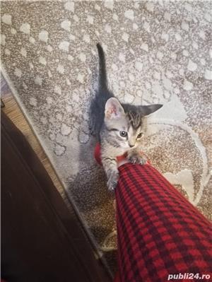 Donez pui de pisica  - imagine 2