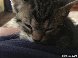 Donez pui de pisica  - imagine 5