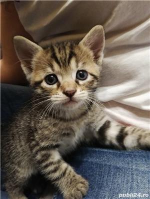 Donez pui de pisica  - imagine 1