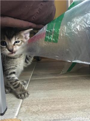 Donez pui de pisica  - imagine 3