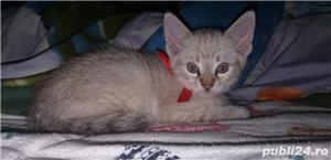 pui pisica Balineza links point! - imagine 1