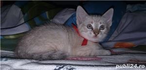 pui pisica Balineza links point! - imagine 2