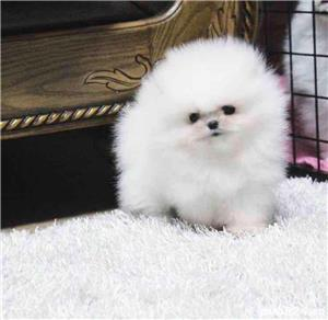 Anunt real ! Pomeranian -zwergspitz cu pedigree Fci stampila export toy alb imaculat ! - imagine 3