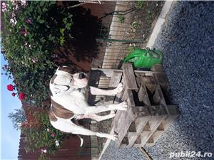 Buldog american pentru monta - imagine 3