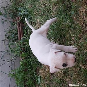 Dogo argentinian - imagine 2
