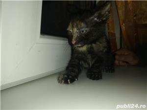 Pui de pisică - imagine 1
