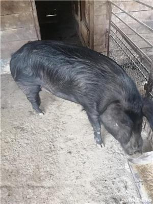 Vand porci - imagine 11