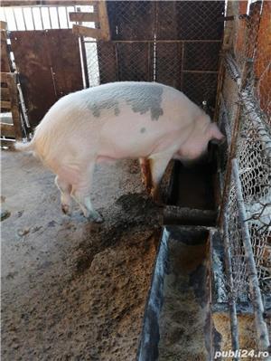 Vand porci - imagine 5