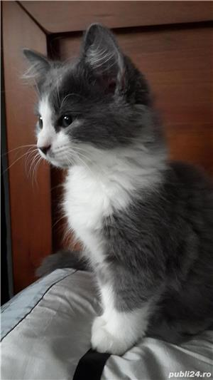pisicuta super iubitoare bombai - imagine 1
