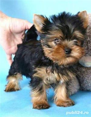 vand pui Yorkshire terrier toy - imagine 1