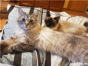 Vand doua pisici, una Siberiana (ragdoll, birmaneza) si una Siameza - imagine 1