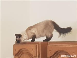 Vand doua pisici, una Siberiana (ragdoll, birmaneza) si una Siameza - imagine 2