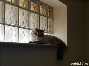 Vand doua pisici, una Siberiana (ragdoll, birmaneza) si una Siameza - imagine 3