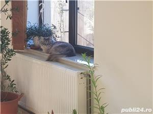 Vand doua pisici, una Siberiana (ragdoll, birmaneza) si una Siameza - imagine 4
