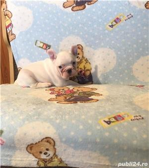Pui bulldog buldog francez femela alba - imagine 2