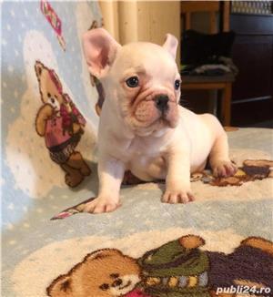Pui bulldog buldog francez femela alba - imagine 1