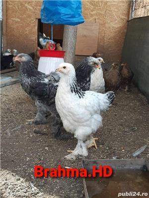 Pui brahma  - imagine 3