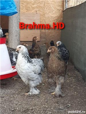 Pui brahma  - imagine 2