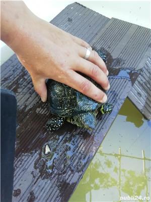 Vând broască țestoasă de apa europeana  - imagine 5