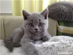 Pui de pisica british shorthair blue - imagine 1